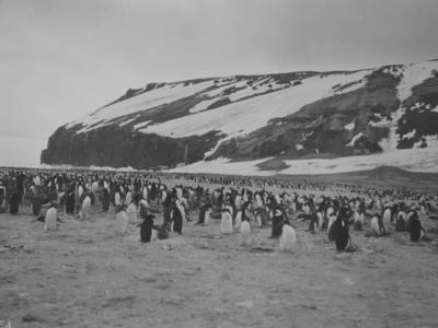 Photograph: Penguins at Cape Adare