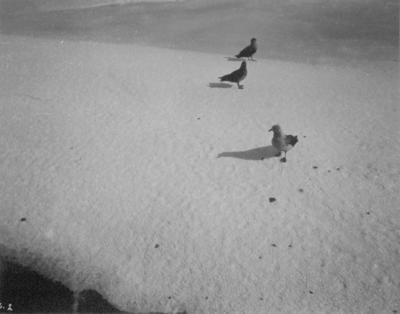 Photograph: Skua Gulls