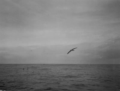 Photograph: Wandering Albatross