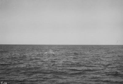 Photograph: Sperm Whale Blowing