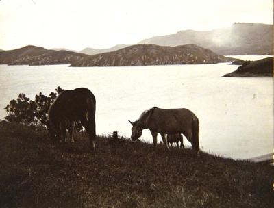 Photograph: Mules