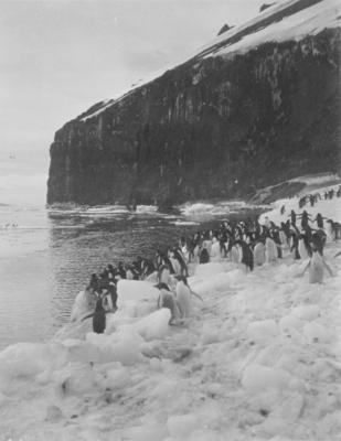 Photograph: Adelie Penguins at Cape Adare