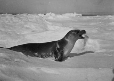 Photograph: Crabeater Seal