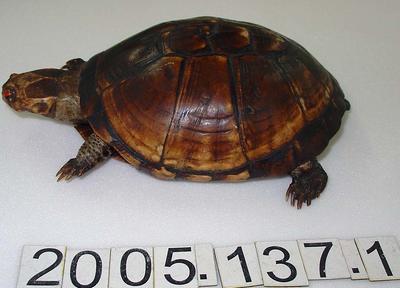Tortoise: Mount