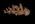 Glass Model Invertebrate: Dendronotus arborescens variety carneus