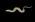 Glass Model Invertebrate: Arenicola marina