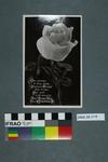Postcard of a Christmas flower