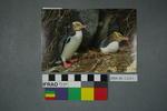 Postcard of yellow eyed penguins