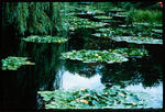 Slide: Water Lilies On Pond