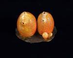 Glass Model Invertebrate: Cynthia pyriformis