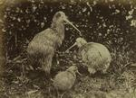 Photograph: Three Kiwi
