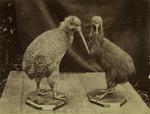 Photograph: Two Kiwi