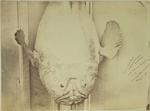Photograph: Giant Cut Fish