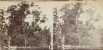 Photograph: Totara Tree