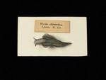 Glass Model Invertebrate: Elysia chlorotica