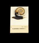 Glass model invertebrate: Planorbis corneus