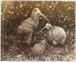 Photograph: Three Kiwi Birds