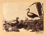 Photograph: Paradise Ducks