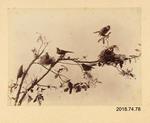 Photograph: N Z Robins & Bell Birds
