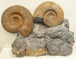 Fossil: Ammonite